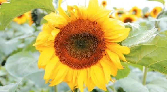 Шкідники соняшнику фото, ілюстрація