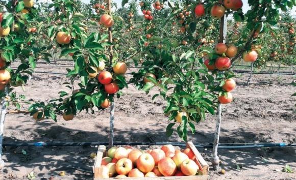 Сорта яблони для вашего сада фото, иллюстрация