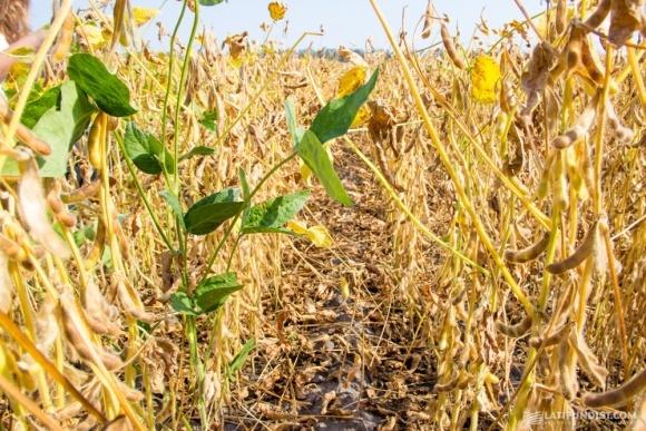 Применение почвенных гербицидов для не-ГМ сои фото, иллюстрация