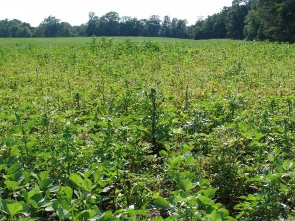 Агротехнічні заходи боротьби з бур'янами у посівах сої фото, ілюстрація