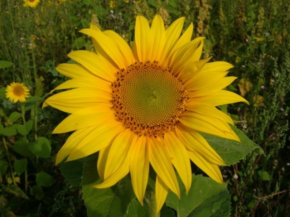 Протидія бур'янам  на посівах соняшнику фото, ілюстрація