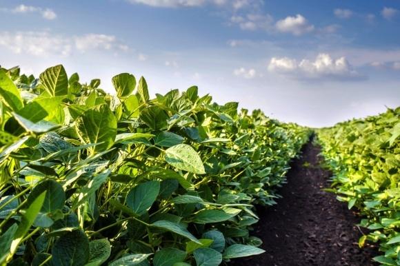Соя: путеводитель по выращиванию (начало) фото, иллюстрация