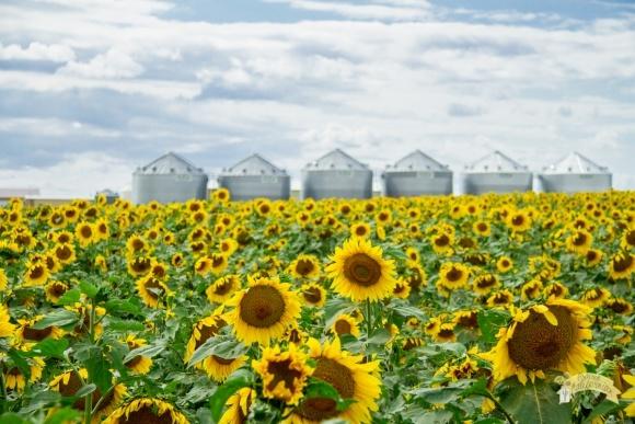 Выращивание подсолнечника: американский опыт фото, иллюстрация