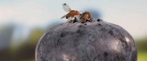 Плямистокрилі дрозофіли - злісний шкідник плодово-ягідних культур фото, ілюстрація