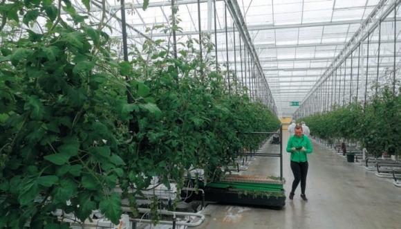Болезни томатов защищенного грунта фото, иллюстрация