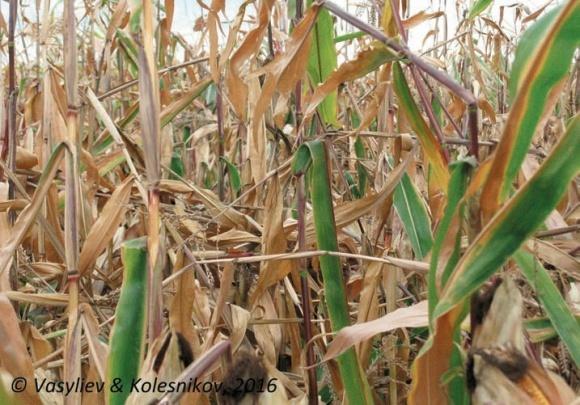 Трихограмма: биологическая защита растений или бизнес на грани аферы? фото, иллюстрация