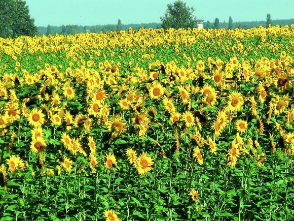 Вирощування  соняшнику в Польщі фото, ілюстрація