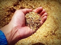 Правильний відбір  проб зерна та насіння  для аналізу сільгоспкультур фото, ілюстрація