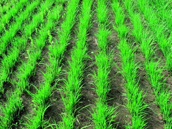 Виробництво біопалива з свічграса: екологічно чиста енергія фото, ілюстрація