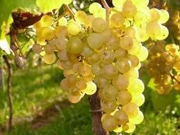 Препарат 30 д: защита винограда и плодовоягодных культур от влияния негативных метеофакторов фото, иллюстрация