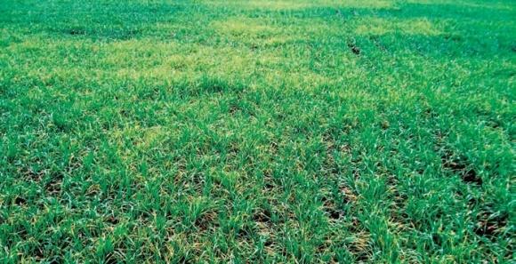Вірусні хвороби зернових колосових і заходи щодо обмеження їхнього поширення фото, ілюстрація
