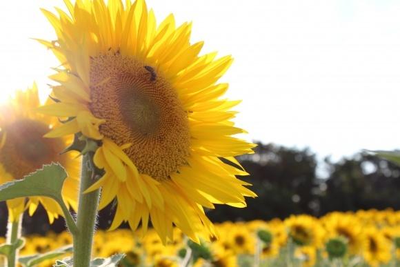 Як підвищити рентабельність соняшнику в умовах посухи фото, ілюстрація
