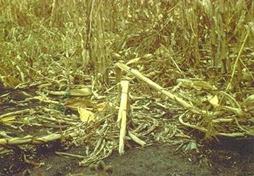 Види та причини вилягання кукурудзи — як їм запобігти фото, ілюстрація