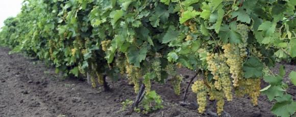 Распространение болезней многолетней древесины виноградников фото, иллюстрация