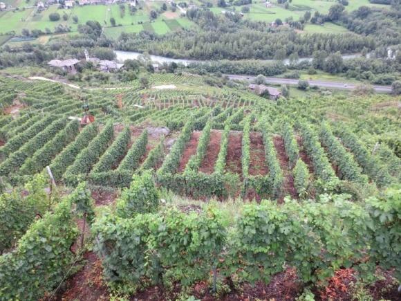 Шкідники виноградників фото, ілюстрація