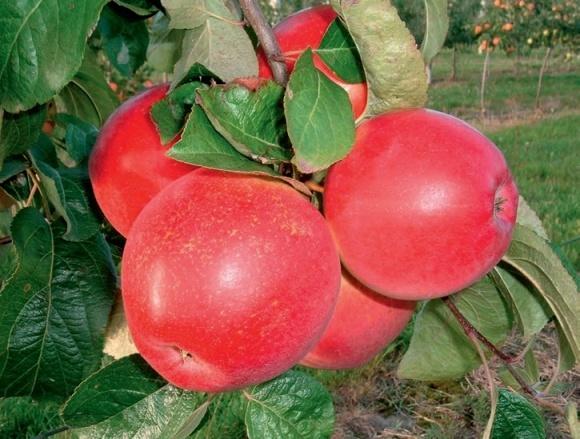 Вирощування сортів яблуні  на підщепі 54–118 фото, ілюстрація