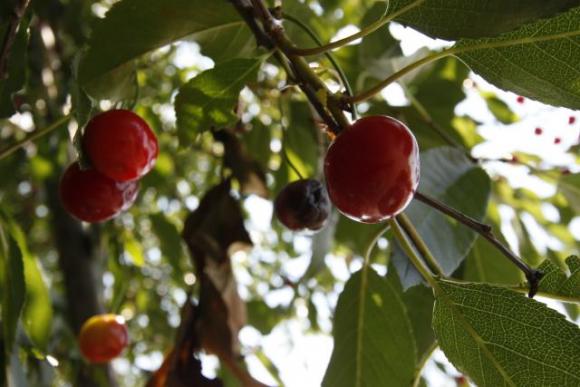 Інтегрований захист вишневих насаджень від шкідників і хвороб фото, ілюстрація