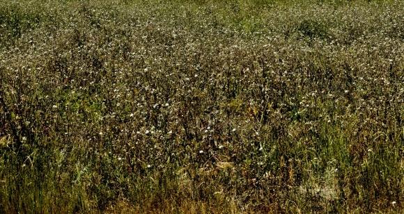 Самые распространенные сорняки полевых культур фото, иллюстрация