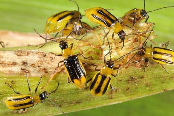 Как бороться с западным кукурузным жуком? фото, иллюстрация