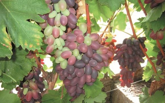 Особливості вирощування винограду фото, ілюстрація