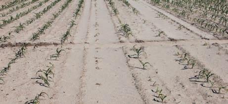 Як живе та від чого страждає кукурудза? фото, ілюстрація