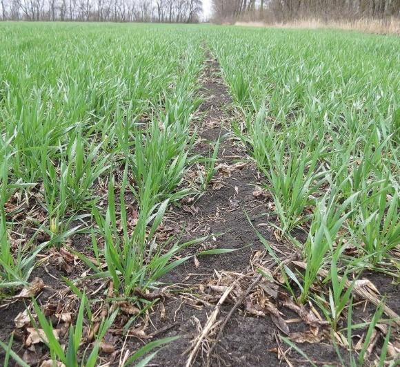 """Особливості вирощування ярої пшениці в ТОВ """"Агропартнер"""" фото, ілюстрація"""