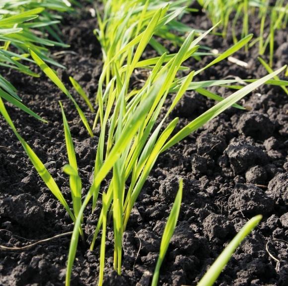 Мікродобрива у посівах озимої пшениці фото, ілюстрація
