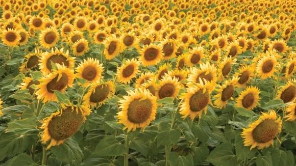 Надійний захист соняшнику з Проманом® 600 фото, ілюстрація