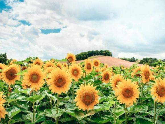 Експрес® Голд — підсилене рішення для захисту соняшнику фото, ілюстрація
