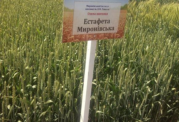 Адаптивний потенціал нових сортів і перспективних ліній пшениці м'якої озимої миронівської селекції фото, ілюстрація