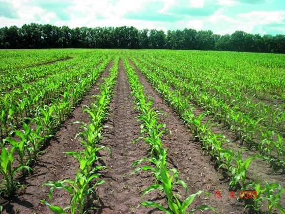 Захист кукурудзи від бур'янів фото, ілюстрація