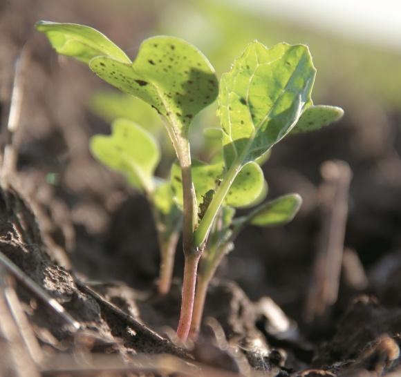 Технологія вирощування ріпаку за системою Clearfield® фото, ілюстрація