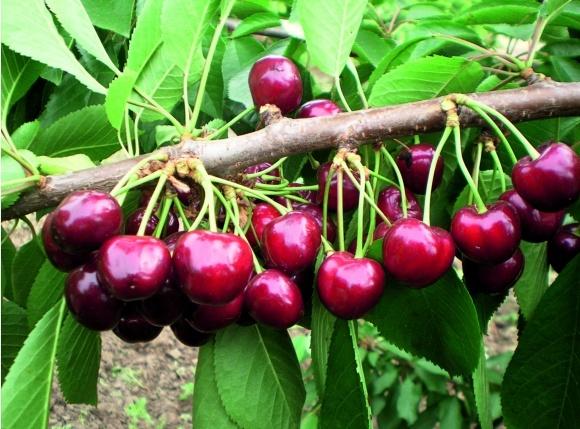 Сорти для плодового саду фото, ілюстрація