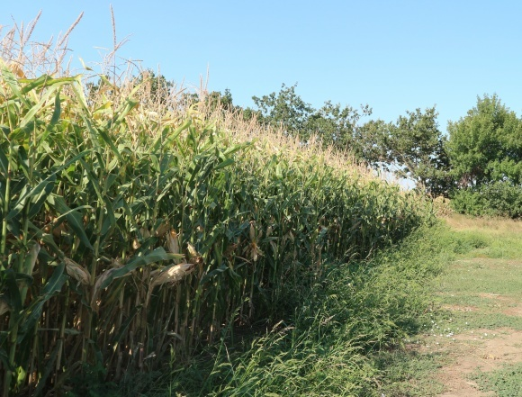 Пожалуй, самая интенсивная технология выращивания кукурузы в Украине  фото, иллюстрация