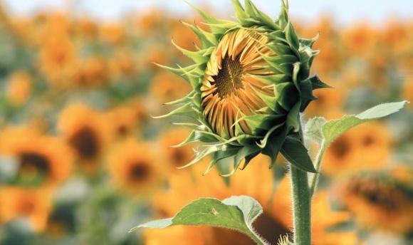Правильний вибір гібрида соняшнику — перший крок до успіху фото, ілюстрація