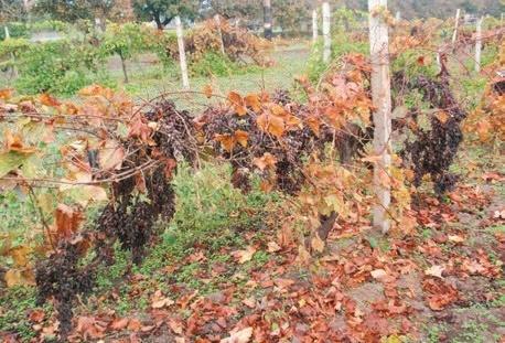 Защита виноградников от вредителей и болезней в летний период фото, иллюстрация