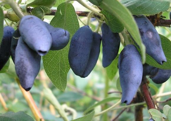 Україна почала збирати перший урожай з промислових плантацій жимолості фото, ілюстрація