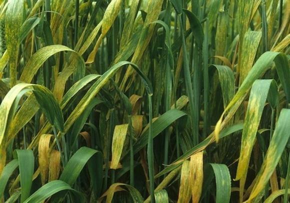 Желтая ржавчина пшеницы фото, иллюстрация