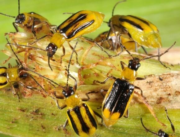 Западный кукурузный жук: самый опасный вредитель кукурузы США фото, иллюстрация