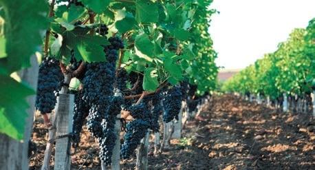 Питание виноградников фото, иллюстрация