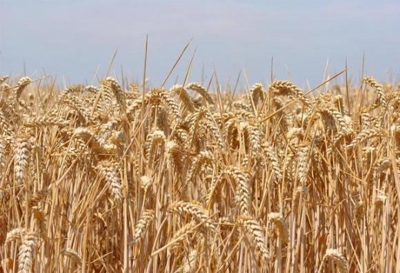 Площади под пшеницей в Индии могут достичь исторического рекорда фото, иллюстрация