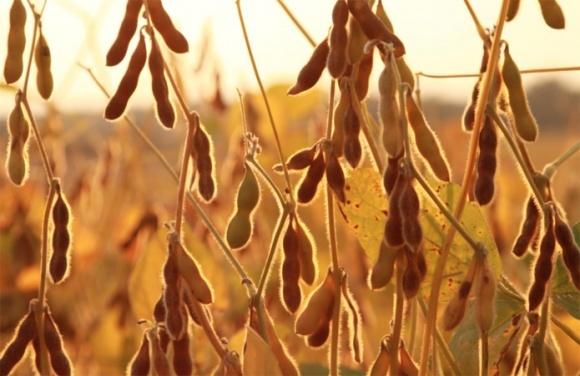 В Аргентине 75% посевов сои - в плохом и очень плохом состоянии фото, иллюстрация