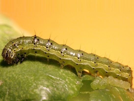 В Бразилії навіть генетично модифікована соя не може зупинити нашестя бавовняної совки фото, ілюстрація