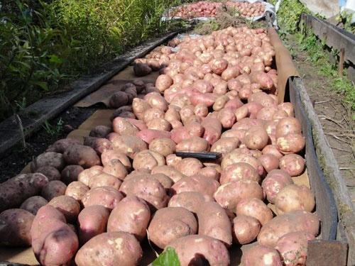 Ажиотаж на рынке картофеля Украины – психология масс становится главным фактором ценообразования фото, иллюстрация