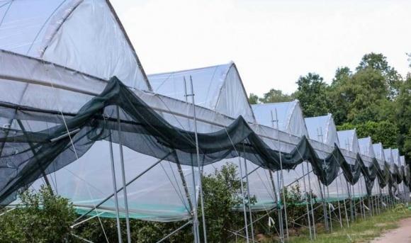 Дискуссионный агролайфхак: зеленый занавес вместо туннельных укрытий  фото, иллюстрация