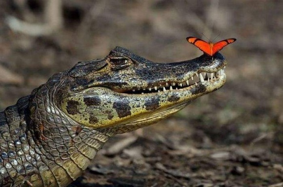 Египет будет развивать селекцию и экспорт крокодилов фото, иллюстрация