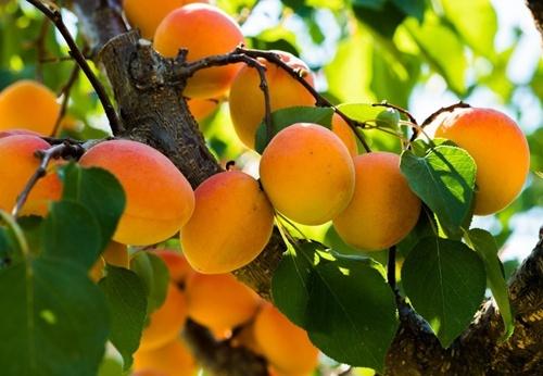 В Європі очікується високий врожай абрикосів фото, ілюстрація