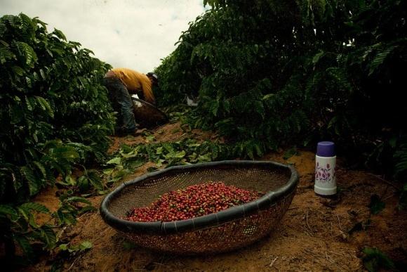 Кофейные плантации Южной Америки могут полностью исчезнуть фото, иллюстрация