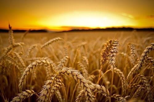 США виграли у Китаю суперечку в СОТ щодо мит на зернові фото, ілюстрація