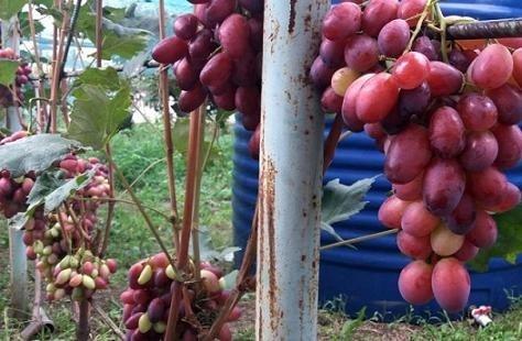 Виноградарь из Днепропетровской области собирает около 4 тонн ягоды в год фото, иллюстрация